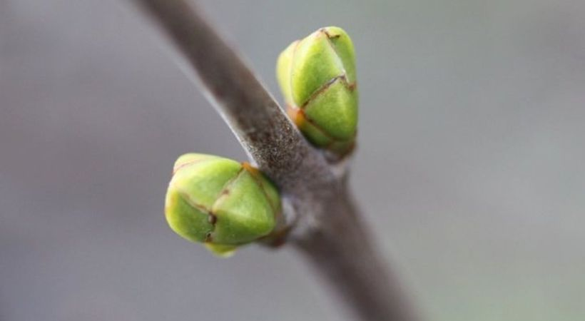 Våren i knopp. Foto: Jorunn Tunheim