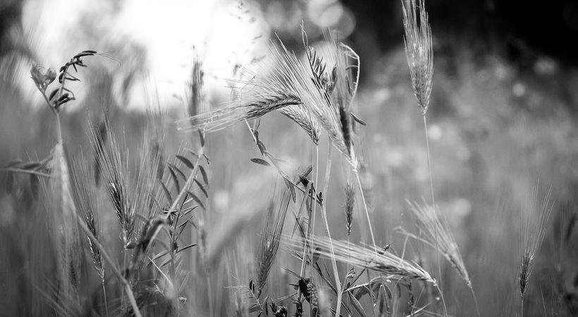 Kornet og ugresset i Guds åker (Matteus 13,24-30)